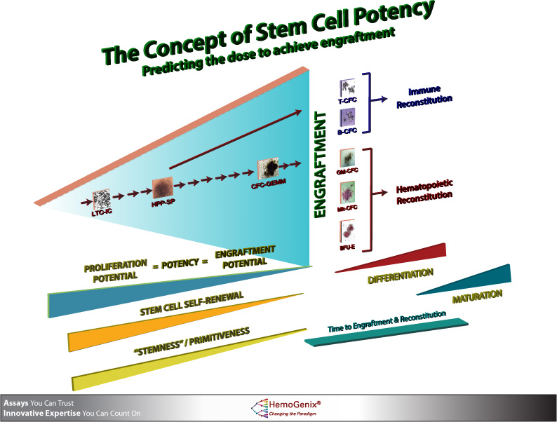 The stem cell transplantation process and why stem cell potency must be measured before transplantation